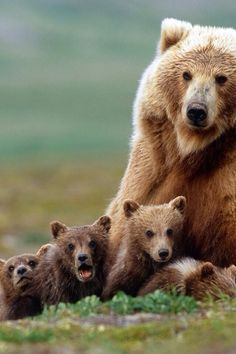 Grizzly Bear with four little cubs.