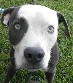 RADAR (A1842331) I am a male gray and white Bulldog mix. The shelter staff think I am about 3 years old and I weigh 51 pounds. I was confiscated and I may be available for adoption on 01/10/2017. — Miami Dade Animal Services Pet Adoption and Protection Center. https://www.facebook.com/urgentdogsofmiami/photos/a.477521308948944.116125.191859757515102/1421735111194221/?type=3&theater