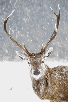 Seven pointer Red Deer stag in the Great Glen. British Wildlife, English Heritage, Red Deer, Animal Totems, Dundee, Winter, Giraffe, Jigsaw Puzzles, Moose Art