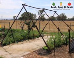 Giant Edible Trellis Project: Week Eleven, The Snow Peas are Ready! - Leaf, Root & Fruit Gardening Services Hawthorn