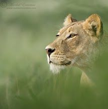 ☺♥☼   The Huntress    #lion#female