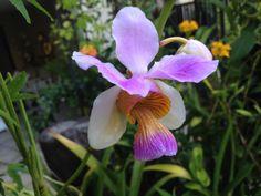 Orchid: Vanda 'Miss Joaquim' - Flickr - Photo Sharing!