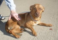 Mickey is an adoptable Dachshund Dog in Manchester, CT. Mickey is super sweet and loves to cuddle. He is fully vetted, neutered and HW negative. He gets along great with other dogs and children. Pleas...
