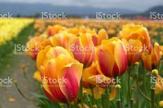 Darwin Hybrid Tulips royalty-free stock photo