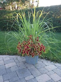 Lemon grass and coleus-Attractive approach to repulse mosquitoes. Lemon grass and coleus-Attractive approach to repulse mosquitoes. Balcony, garden - creation, concepts Lemon grass and coleus-Attractive approach to r. Garden Yard Ideas, Garden Planters, Lawn And Garden, Garden Projects, Balcony Garden, Spring Garden, Outdoor Plants, Outdoor Gardens, Patio Plants