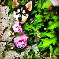 Mini Husky on Pinterest | Alaskan Klee Kai, Mini Huskies and Husky ...