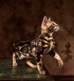 Bengal Cat Names - 200 Ideas For Naming Your Kitten Over 200 of the best Bengal Cat Names. Including famous, cool and funny names, for male and female cats. Find the perfect name for your Bengal kitten. Bengal Cat Names, Bengal Kittens, Tabby Cats, Kitty Cats, Cats Bus, Marble Bengal Cat, Gato Bengali, Chat Male, Asian Leopard Cat