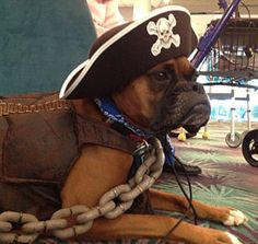 animal assisted therapy: Kayla the boxer visits a nursing home dressed as a three-legged pirate for Halloween.
