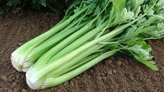Pěstování celeru   Prima nápady Celery, Vegetables, Malachite, Vegetable Recipes, Veggies