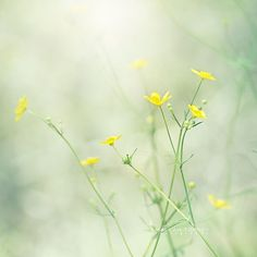 Buttercups Yellow Flower Photography Wildflowers by MaleahTorney