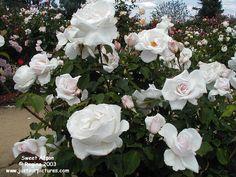 Sweet Afton rose
