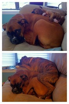 mommy and baby Boxer