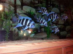 Aquarium Fish For Sale, Big Aquarium, Tropical Aquarium, Tropical Fish, Plecostomus, Lake Tanganyika, Salt Water Fish, Freshwater Aquarium Fish, African Cichlids