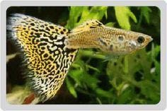 Photo of poecilia reticulata, King Cobra Guppy Fish