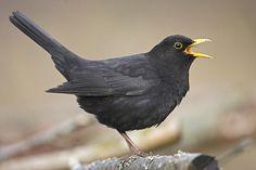 63 ideas for black bird photography blackbird Small Birds, Love Birds, Beautiful Birds, Pet Birds, Birds 2, Angry Birds, Little Black Bird, Colly Birds, Blackbird Singing