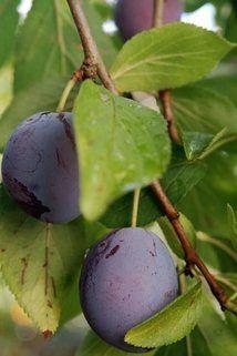 Zwetsche 'Anna Späth' - Prunus 'Anna Späth' -  späte Sorte, ideal für warme Lagen mit langer Vegetati-onszeit, große, rundliche Frucht mit dunkelvioletter Schale und starker Bereif-ung - gelbgrünes Fleisch, saftig, mittelfest - süß mit wenig Säure und - guter Würze - robuste Sorte