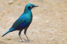 Beautiful Starlings | Greater Blue-eared Glossy-starling, Lamprotornis chalybaeus