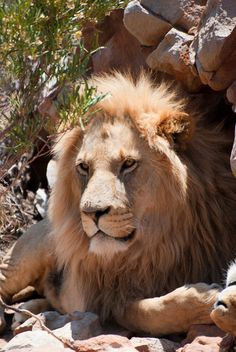 Lion, Cool Stuff, Animals, Leo, Cool Things, Animais, Lions, Animales, Animaux