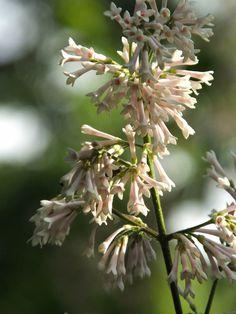 #Syringa #tomentella subsp. #yunnanensis