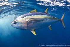 """Listen: Yellowfin tuna from Baja to Catalina Island; marlin, yellowtail and more – 