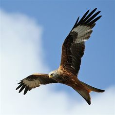Red Kite...love seeing these when driving to and from West Wales