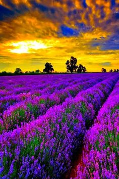 Provence, France  Lavender fields`