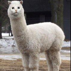 Llama-cat!!!
