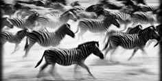 Une galerie de photos de Laurent Baheux d'animaux africains, photographiées sans flash et en noir et blanc. Des photos d'une grande pureté, et sans artifices.