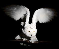 {Snowy Owl} by Darrin Jenkins