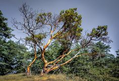 Photograph Neck Point Arbutus by John Moore on 500px