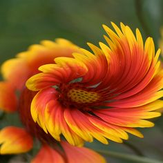 ~~ Freedom Flower ~~ Nature truly is amazing. How gorgeous is this flower. Inspired to paint :)