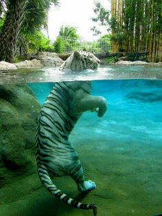 White tiger and water.