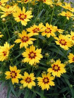 Coreopsis grandiflora Domino Deepest burgundy centers on compact plants