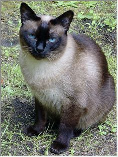 American Siamese I want -- looks like a cat I had when I was young. Seal Point.
