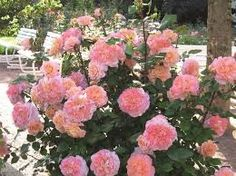 Image result for rose augusta luise