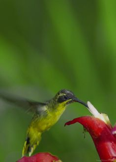 Amazing Animals ~ Hummingbirds flaps it's wings @ 55 - 75 times per SECOND. To fuel this activity, the Hummingbird will eat approximately Twice it's body weight in Nectar everyday.