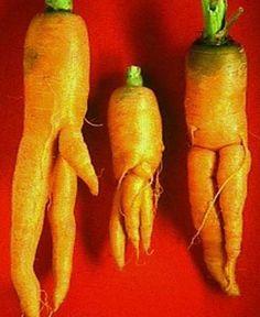 """Vi e' mai capitato di prendere in mano un ortaggio con forme strane?  Ecco un tipico campione di carote.. :)    Le nuove, belle, snelle e buone..""""La rivincita delle sexy carote."""""""