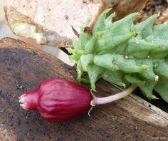 Echidnopsis ballyi