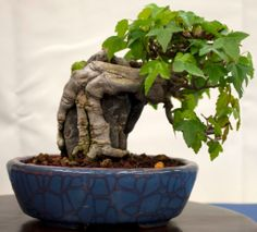 Shohin - Trident Maple over rock.