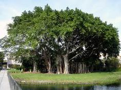 7 best the banyan tree images on pinterest caribbean adventure banyan trees are a type of fig that actually start out growing on the trunks of other trees the host trees eventually die from the banyan taking over fandeluxe Choice Image