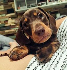 The Diverse Dachshund Breed - Champion Dogs Basset Dachshund, Dachshund Funny, Long Haired Dachshund, Weenie Dogs, Dachshund Puppies, Dachshund Love, Cute Puppies, Chihuahua, Cute Dogs