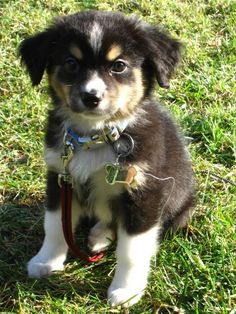 Black & White Australian Shepherd Puppy