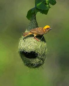 Weaver birds' nests are the most astonishing structures built by birds