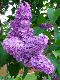 Lilac 'Ludwig Spaeth' Blooms In: spring Needs: full sun and well-drained soil Water: about 1 inch per week, including rain