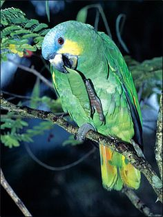 The Orange-winged Parrot, right, is the most common member of the parrot family found in Trinidad and Tobago.