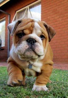 English Bulldogs are sweet fellows that are quiet lazy and like to rest and eat a lot.They do not need excessive exercise and actually it can harm them.Warmer and sunny weathers are not much suitable for them.They can do well in small apartments and are ranked as 3rd Ideal dog breed for apartment living.