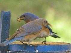 Bluebirds eating mealworms. Photograph by Doris Glander
