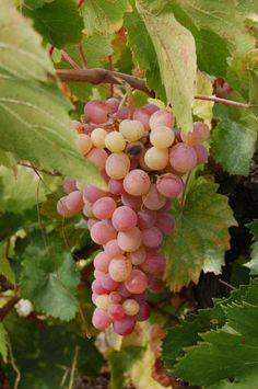 IkarianWine Club, Island of Ikaria, North Aegean. Organic grapes, wine, olives, vegetables, fruit, aromatic plants, bread, corn, beans