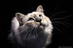 Naldo The Birman Kitten by Natassja Berg Hviid on 500px