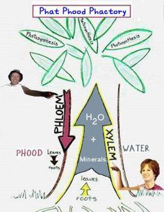 Xylem and Phloem Diagram